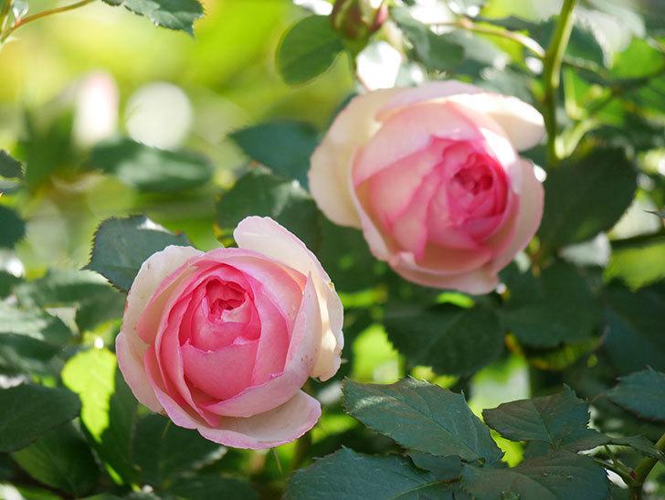 ピエール・ドゥ・ロンサール(Pierre de Ronsard)の花がたくさん咲いた。ツルバラ。2021年-026.jpg
