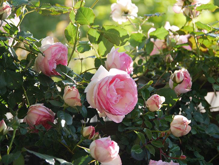 ピエール・ドゥ・ロンサール(Pierre de Ronsard)の花がたくさん咲いた。ツルバラ。2021年-028.jpg