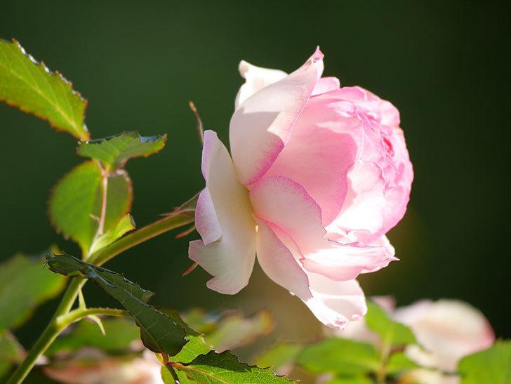 ピエール・ドゥ・ロンサール(Pierre de Ronsard)の花がたくさん咲いた。ツルバラ。2021年-031.jpg