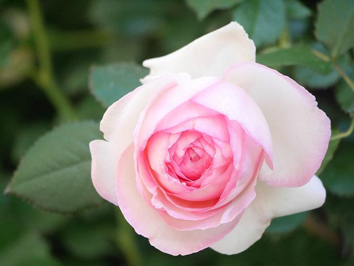 ピエール・ドゥ・ロンサール(Pierre de Ronsard)の花がたくさん咲いた。ツルバラ。2021年-032.jpg