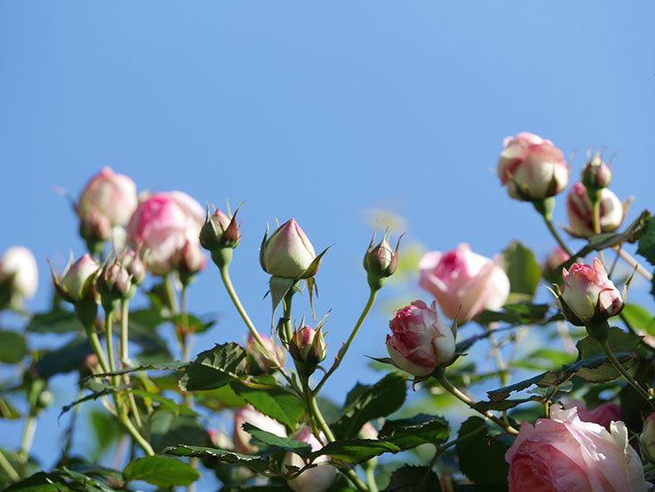 ピエール・ドゥ・ロンサール(Pierre de Ronsard)の花がたくさん咲いた。ツルバラ。2021年-033.jpg