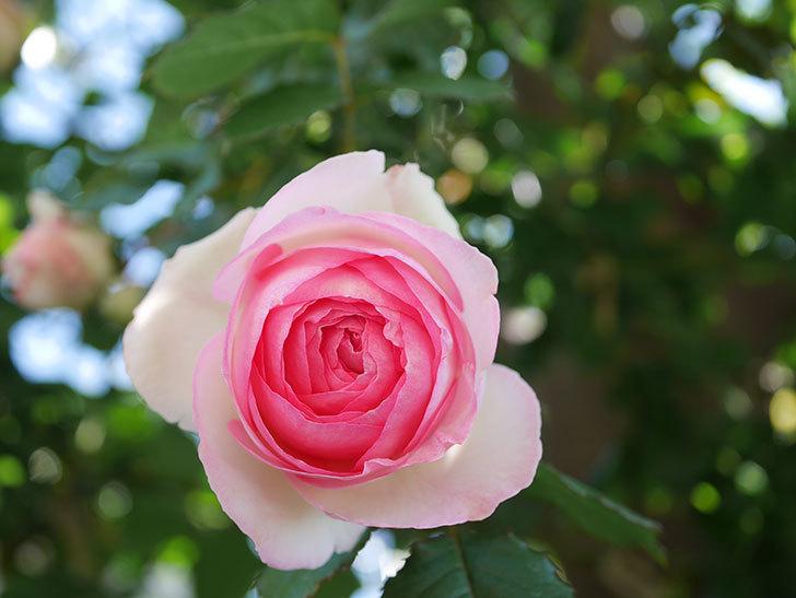 ピエール・ドゥ・ロンサール(Pierre de Ronsard)の花がたくさん咲いた。ツルバラ。2021年-034.jpg