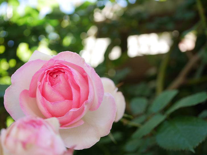 ピエール・ドゥ・ロンサール(Pierre de Ronsard)の花がたくさん咲いた。ツルバラ。2021年-035.jpg