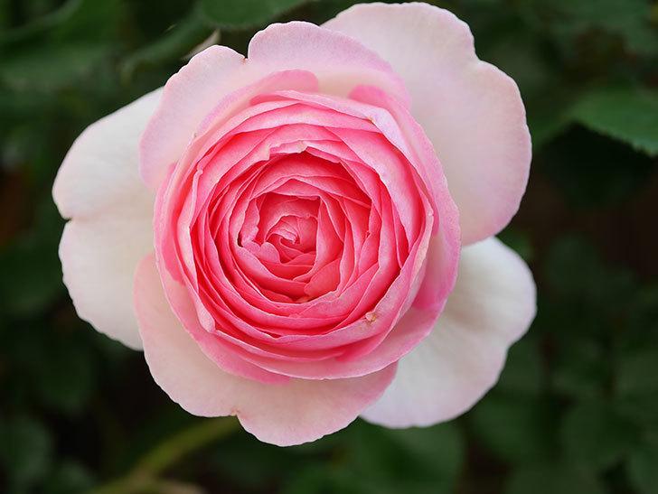 ピエール・ドゥ・ロンサール(Pierre de Ronsard)の花がたくさん咲いた。ツルバラ。2021年-036.jpg