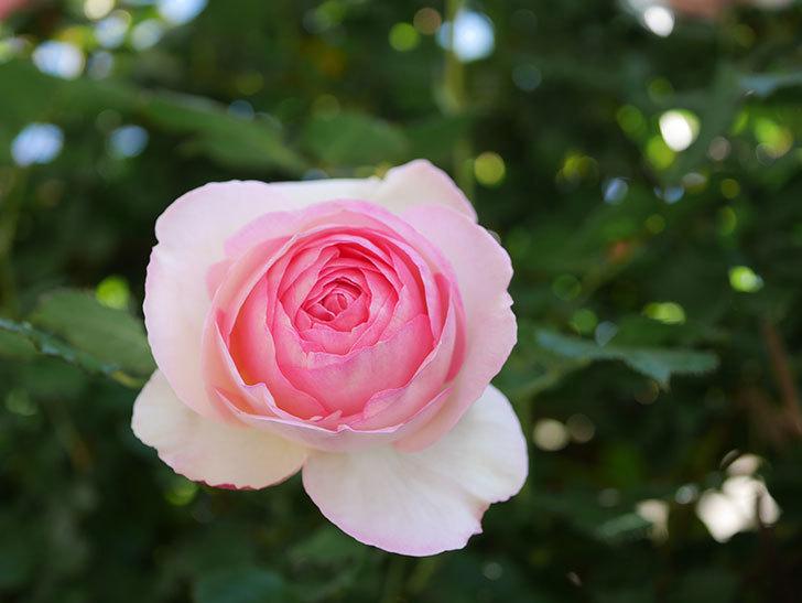 ピエール・ドゥ・ロンサール(Pierre de Ronsard)の花がたくさん咲いた。ツルバラ。2021年-037.jpg