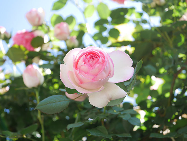 ピエール・ドゥ・ロンサール(Pierre de Ronsard)の花がたくさん咲いた。ツルバラ。2021年-038.jpg