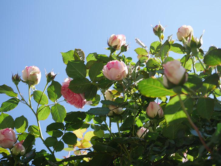 ピエール・ドゥ・ロンサール(Pierre de Ronsard)の花がたくさん咲いた。ツルバラ。2021年-039.jpg