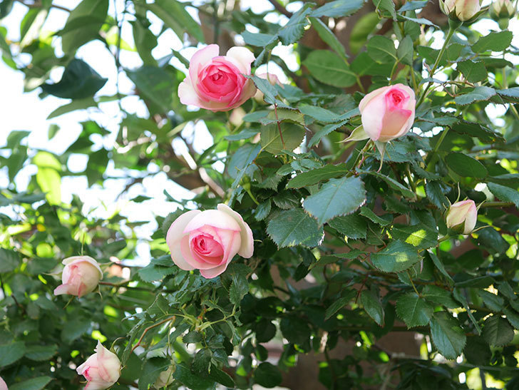 ピエール・ドゥ・ロンサール(Pierre de Ronsard)の花がたくさん咲いた。ツルバラ。2021年-040.jpg