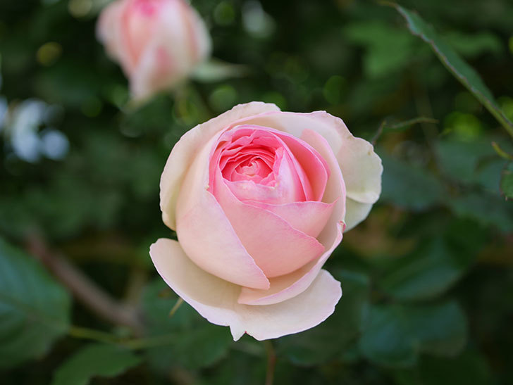 ピエール・ドゥ・ロンサール(Pierre de Ronsard)の花がたくさん咲いた。ツルバラ。2021年-043.jpg