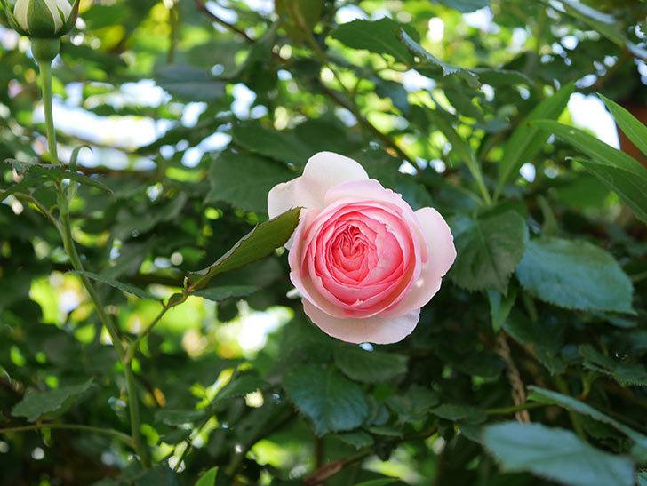 ピエール・ドゥ・ロンサール(Pierre de Ronsard)の花がたくさん咲いた。ツルバラ。2021年-044.jpg