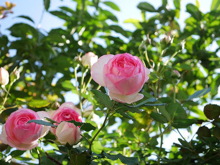 ピエール・ドゥ・ロンサール(Pierre de Ronsard)の花がたくさん咲いた。ツルバラ。2021年-045.jpg