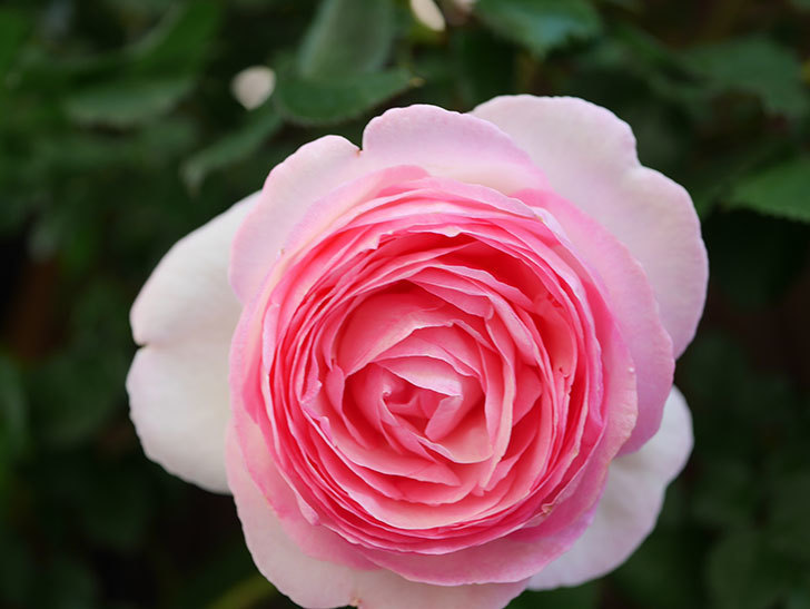 ピエール・ドゥ・ロンサール(Pierre de Ronsard)の花がたくさん咲いた。ツルバラ。2021年-046.jpg