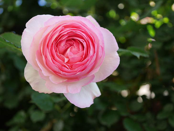 ピエール・ドゥ・ロンサール(Pierre de Ronsard)の花がたくさん咲いた。ツルバラ。2021年-047.jpg
