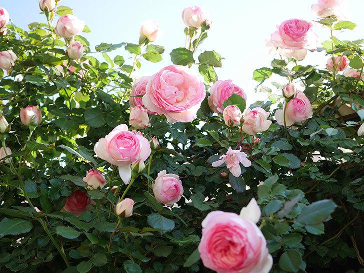 ピエール・ドゥ・ロンサール(Pierre de Ronsard)の花がたくさん咲いた。ツルバラ。2021年-048.jpg