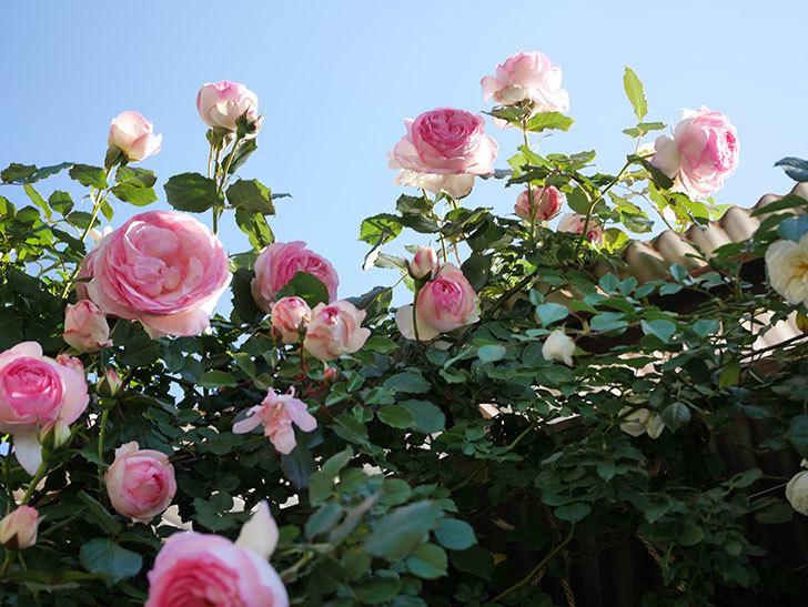 ピエール・ドゥ・ロンサール(Pierre de Ronsard)の花がたくさん咲いた。ツルバラ。2021年-049.jpg