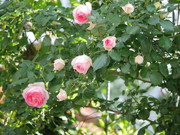 ピエール・ドゥ・ロンサール(Pierre de Ronsard)の花がたくさん咲いた。ツルバラ。2021年-050.jpg