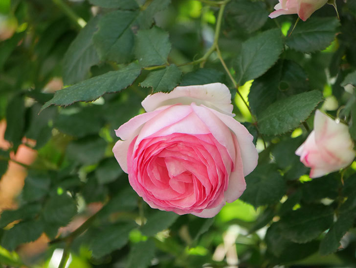 ピエール・ドゥ・ロンサール(Pierre de Ronsard)の花がたくさん咲いた。ツルバラ。2021年-051.jpg