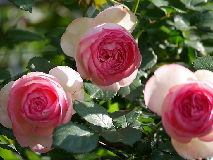 ピエール・ドゥ・ロンサール(Pierre de Ronsard)の花がたくさん咲いた。ツルバラ。2021年-054.jpg