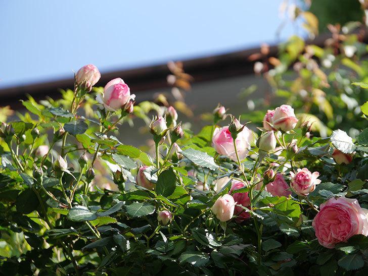 ピエール・ドゥ・ロンサール(Pierre de Ronsard)の花がたくさん咲いた。ツルバラ。2021年-055.jpg