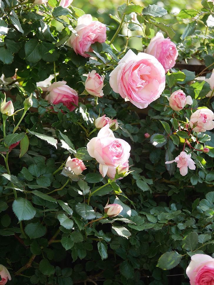ピエール・ドゥ・ロンサール(Pierre de Ronsard)の花がたくさん咲いた。ツルバラ。2021年-056.jpg