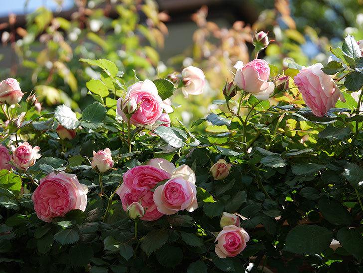 ピエール・ドゥ・ロンサール(Pierre de Ronsard)の花がたくさん咲いた。ツルバラ。2021年-057.jpg