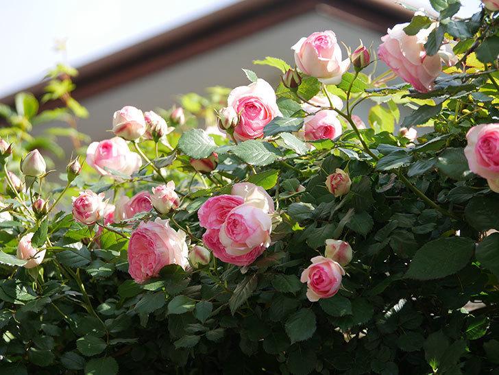 ピエール・ドゥ・ロンサール(Pierre de Ronsard)の花がたくさん咲いた。ツルバラ。2021年-058.jpg