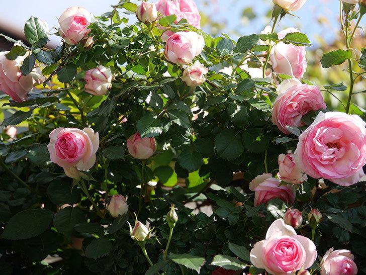 ピエール・ドゥ・ロンサール(Pierre de Ronsard)の花がたくさん咲いた。ツルバラ。2021年-059.jpg