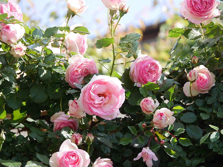 ピエール・ドゥ・ロンサール(Pierre de Ronsard)の花がたくさん咲いた。ツルバラ。2021年-060.jpg