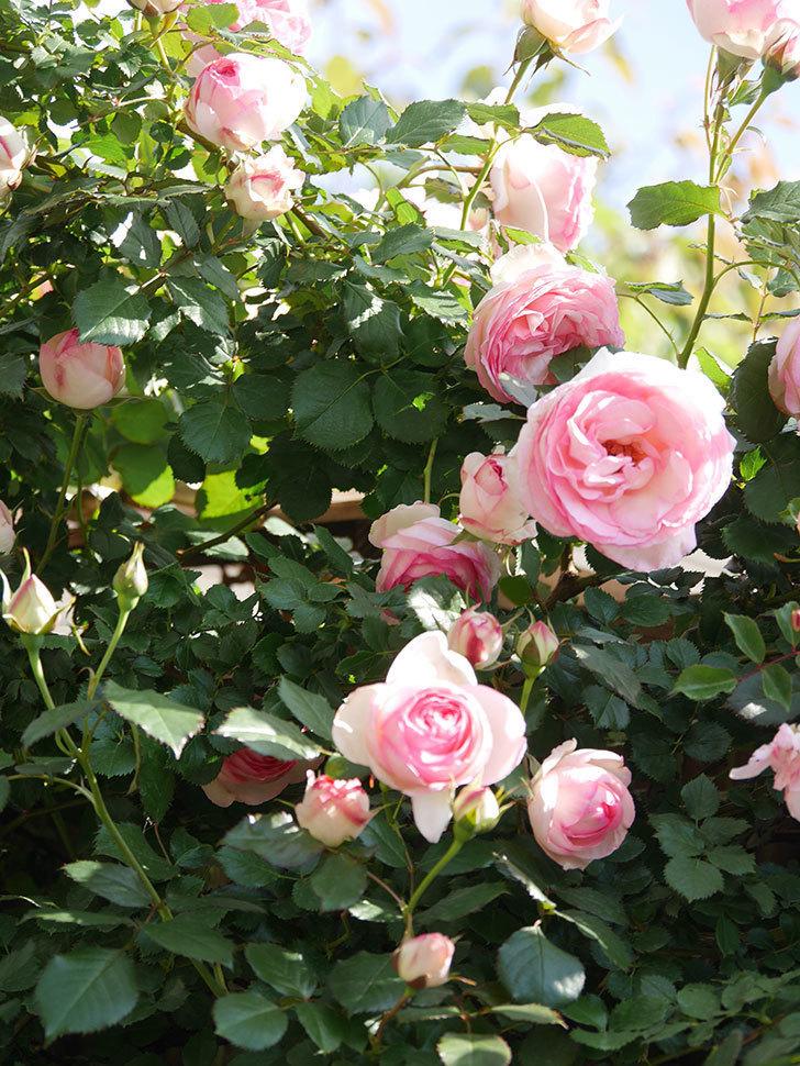 ピエール・ドゥ・ロンサール(Pierre de Ronsard)の花がたくさん咲いた。ツルバラ。2021年-061.jpg