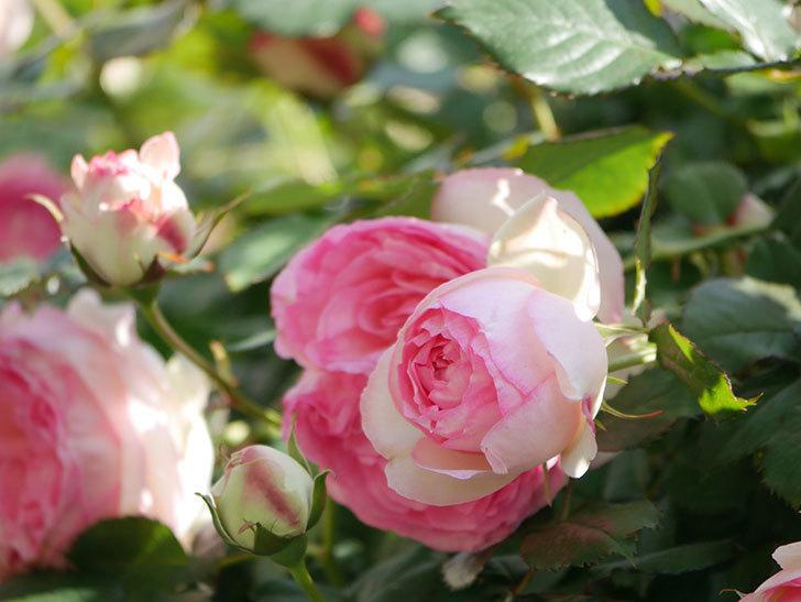 ピエール・ドゥ・ロンサール(Pierre de Ronsard)の花がたくさん咲いた。ツルバラ。2021年-064.jpg