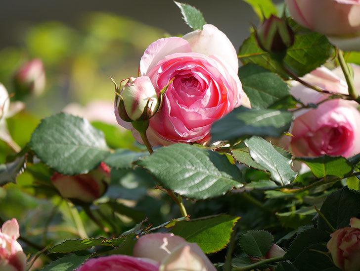ピエール・ドゥ・ロンサール(Pierre de Ronsard)の花がたくさん咲いた。ツルバラ。2021年-065.jpg