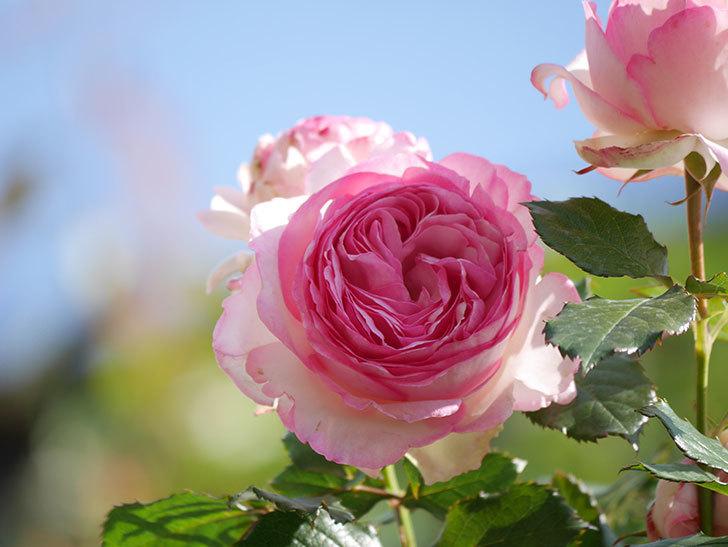 ピエール・ドゥ・ロンサール(Pierre de Ronsard)の花がたくさん咲いた。ツルバラ。2021年-066.jpg