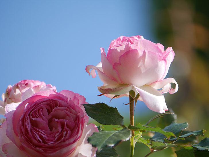 ピエール・ドゥ・ロンサール(Pierre de Ronsard)の花がたくさん咲いた。ツルバラ。2021年-067.jpg