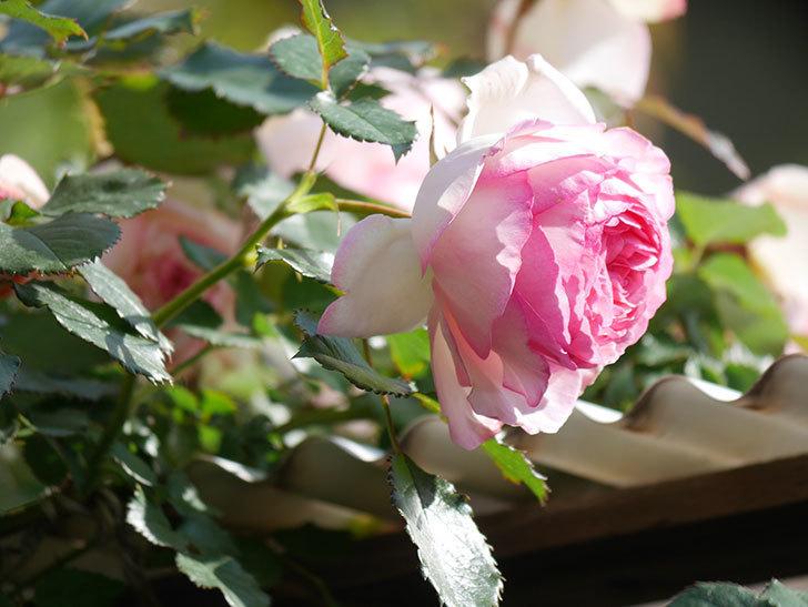 ピエール・ドゥ・ロンサール(Pierre de Ronsard)の花がたくさん咲いた。ツルバラ。2021年-068.jpg