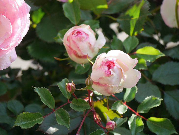 ピエール・ドゥ・ロンサール(Pierre de Ronsard)の花がたくさん咲いた。ツルバラ。2021年-069.jpg