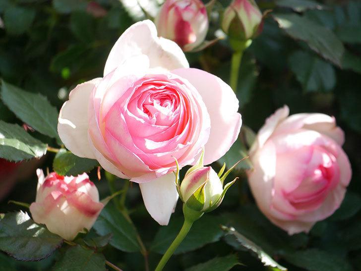 ピエール・ドゥ・ロンサール(Pierre de Ronsard)の花がたくさん咲いた。ツルバラ。2021年-070.jpg