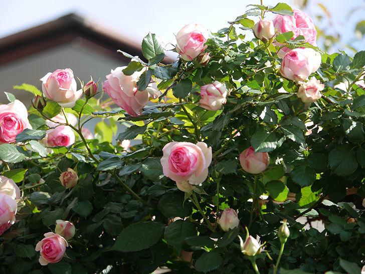 ピエール・ドゥ・ロンサール(Pierre de Ronsard)の花がたくさん咲いた。ツルバラ。2021年-071.jpg