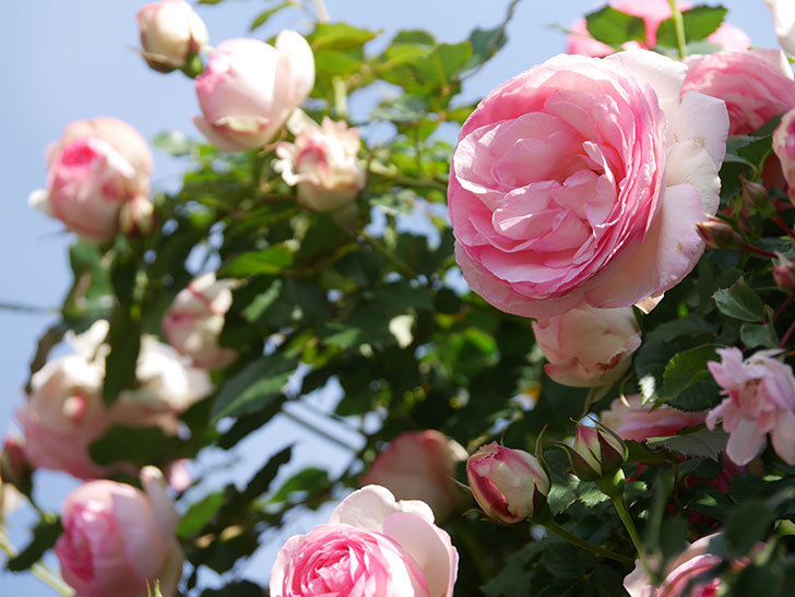 ピエール・ドゥ・ロンサール(Pierre de Ronsard)の花がたくさん咲いた。ツルバラ。2021年-072.jpg