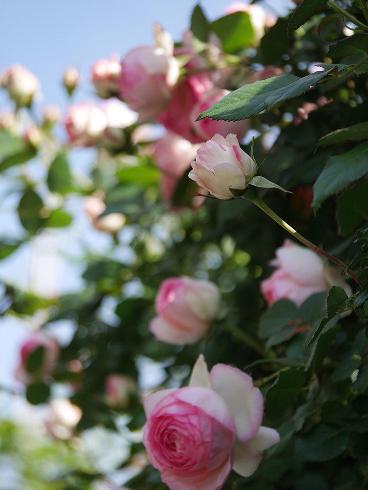 ピエール・ドゥ・ロンサール(Pierre de Ronsard)の花がたくさん咲いた。ツルバラ。2021年-073.jpg