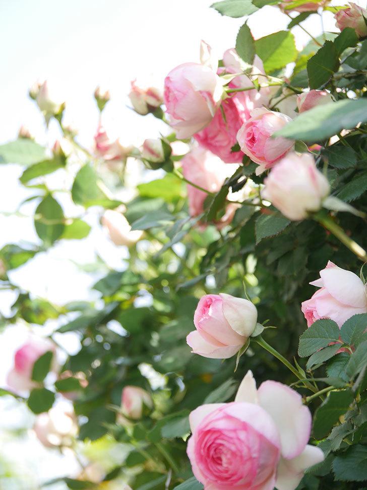 ピエール・ドゥ・ロンサール(Pierre de Ronsard)の花がたくさん咲いた。ツルバラ。2021年-074.jpg