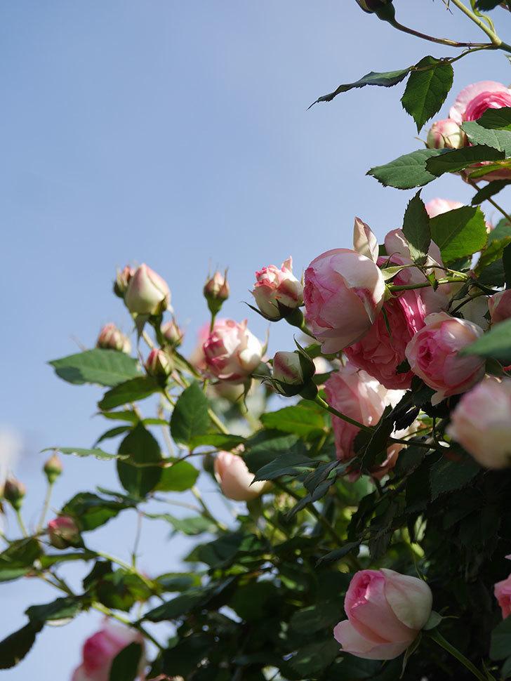 ピエール・ドゥ・ロンサール(Pierre de Ronsard)の花がたくさん咲いた。ツルバラ。2021年-075.jpg