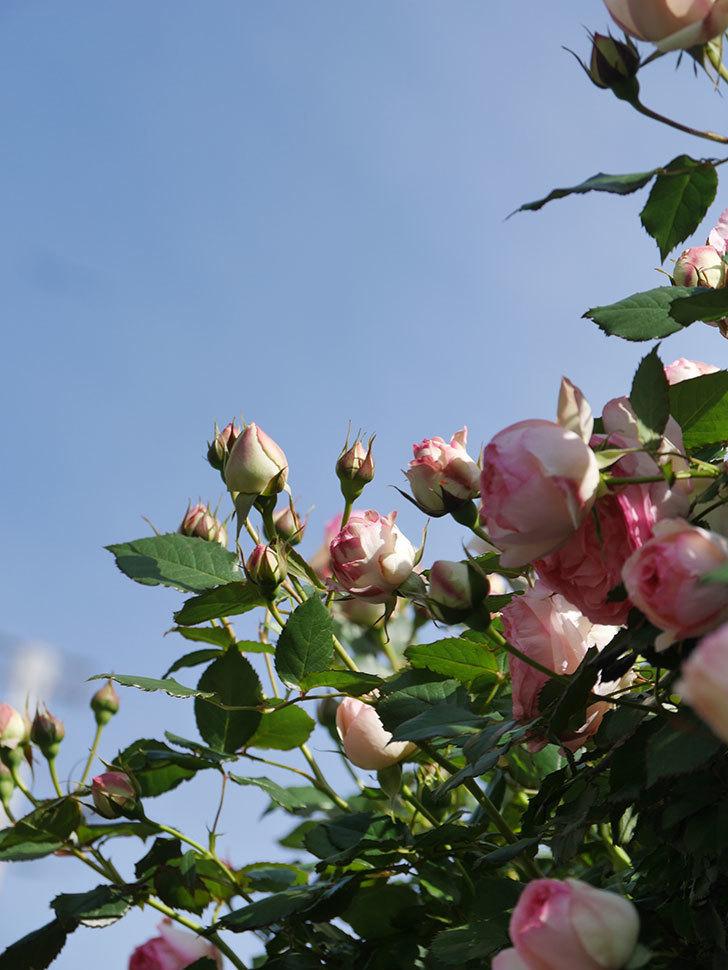 ピエール・ドゥ・ロンサール(Pierre de Ronsard)の花がたくさん咲いた。ツルバラ。2021年-076.jpg