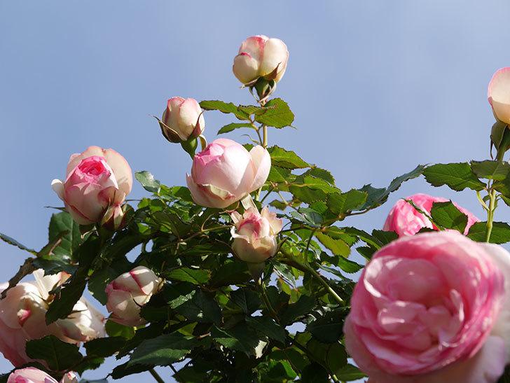 ピエール・ドゥ・ロンサール(Pierre de Ronsard)の花がたくさん咲いた。ツルバラ。2021年-077.jpg
