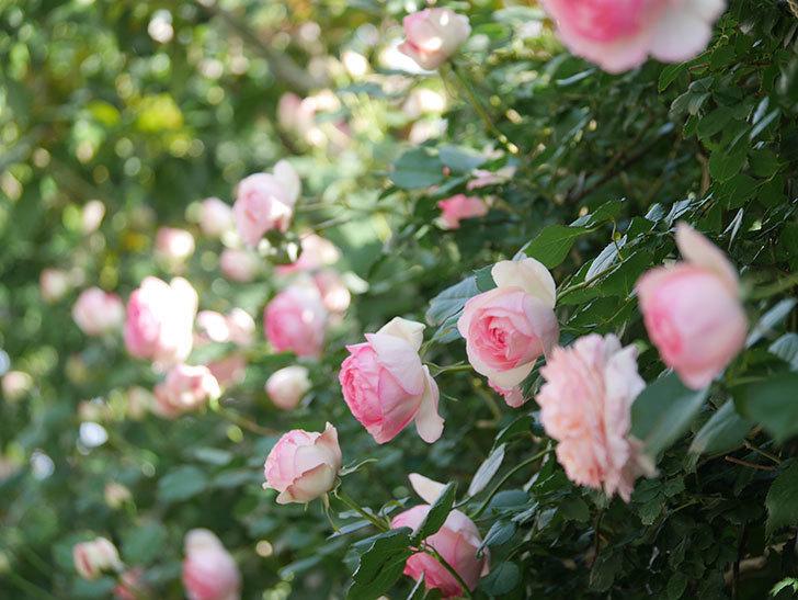 ピエール・ドゥ・ロンサール(Pierre de Ronsard)の花がたくさん咲いた。ツルバラ。2021年-078.jpg