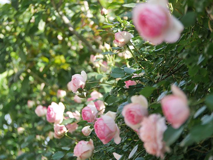 ピエール・ドゥ・ロンサール(Pierre de Ronsard)の花がたくさん咲いた。ツルバラ。2021年-079.jpg