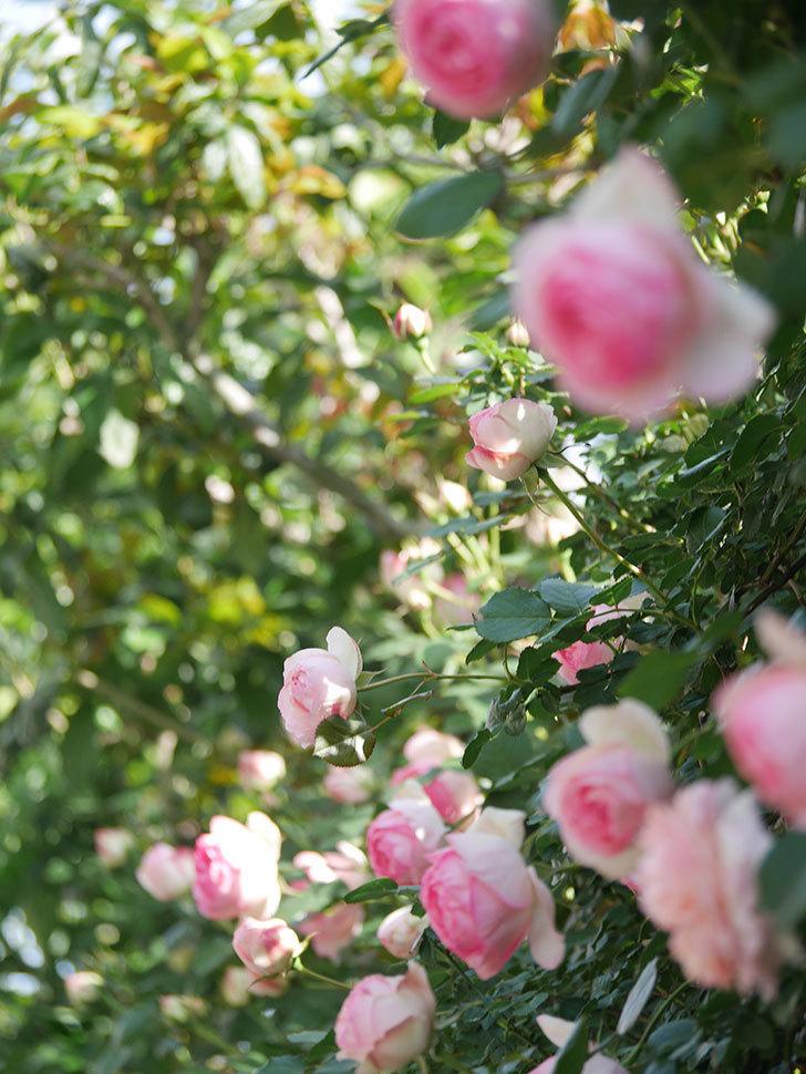 ピエール・ドゥ・ロンサール(Pierre de Ronsard)の花がたくさん咲いた。ツルバラ。2021年-081.jpg
