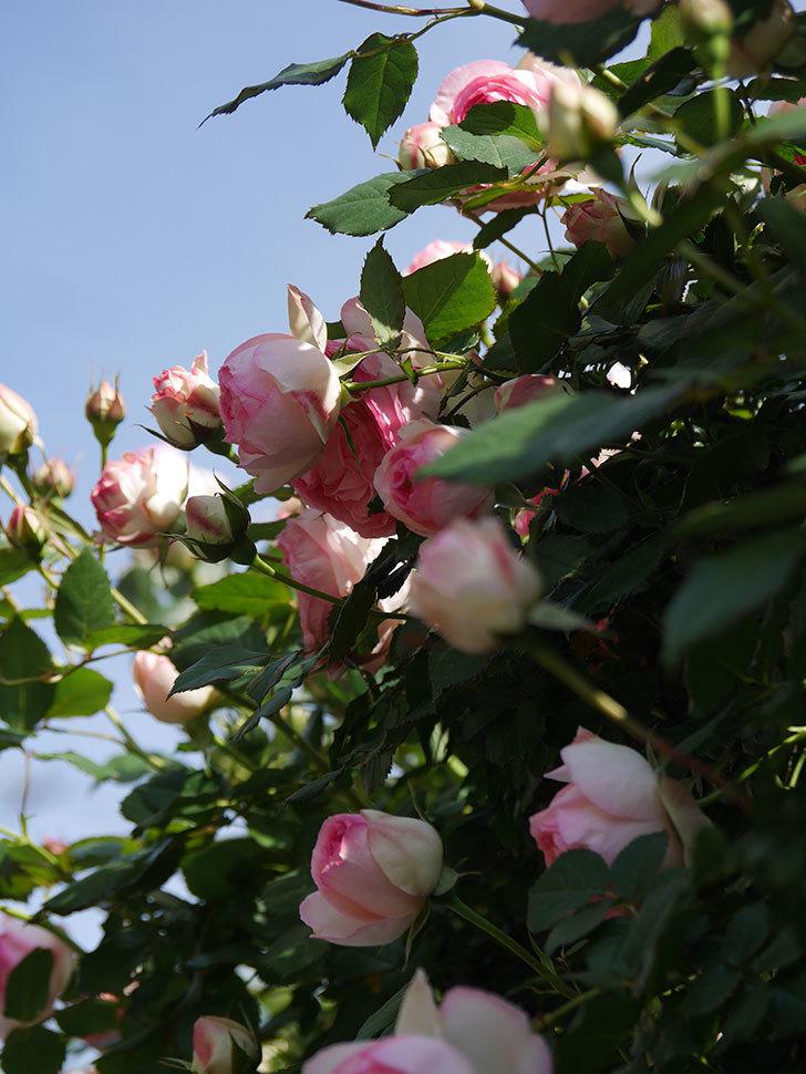 ピエール・ドゥ・ロンサール(Pierre de Ronsard)の花がたくさん咲いた。ツルバラ。2021年-082.jpg