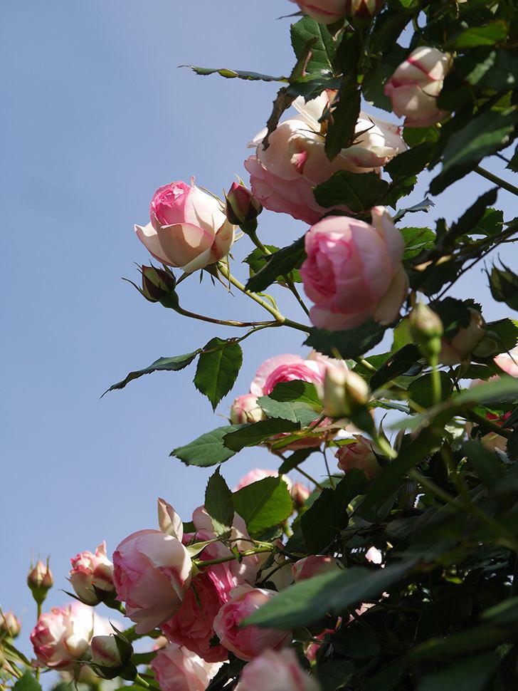 ピエール・ドゥ・ロンサール(Pierre de Ronsard)の花がたくさん咲いた。ツルバラ。2021年-083.jpg