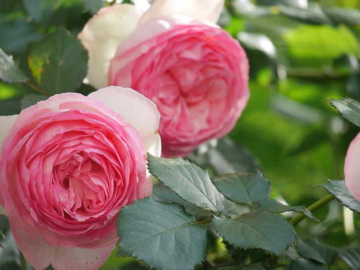 ピエール・ドゥ・ロンサール(Pierre de Ronsard)の花がたくさん咲いた。ツルバラ。2021年-084.jpg