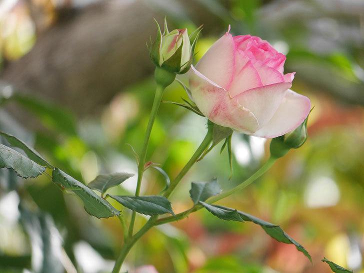 ピエール・ドゥ・ロンサール(Pierre de Ronsard)の花がたくさん咲いた。ツルバラ。2021年-085.jpg